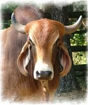 bull 175